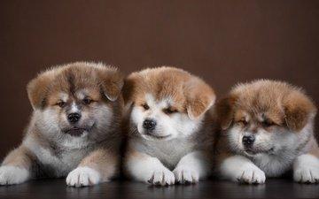 щенки, собаки, американская акита, акита