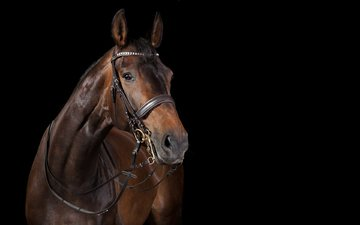 horse, black background, stallion