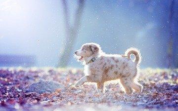 dog, puppy, australian shepherd, aussie