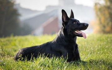 grass, dog, german shepherd