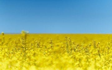 небо, цветы, природа, поле, рапс