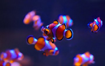 sea, fish, underwater world, clown fish
