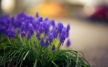 flowers, grass, muscari