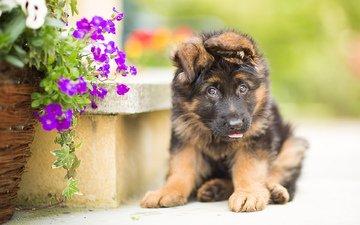 flowers, dog, puppy, german shepherd