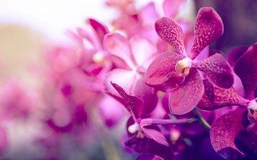 background, petals, color, orchid