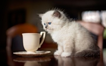 cat, kitty, table, saucer, cup, siamese, blue-eyed, ragdoll