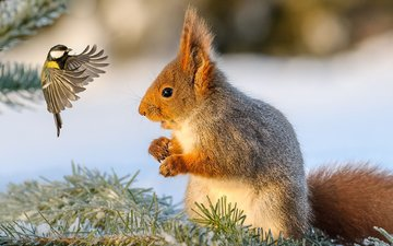 snow, winter, bird, protein, tit, squirrel