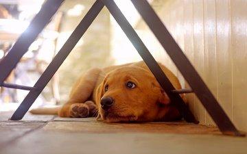 dog, house, each, lying, golden retriever