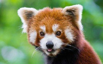 muzzle, panda, red panda