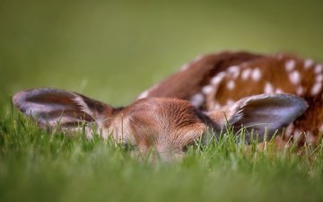 grass, nature, deer, background, fawn, whitetaildeer