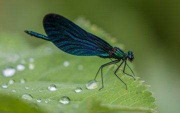 природа, макро, насекомое, роса, капли, крылья, лист, стрекоза