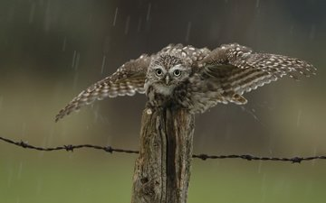 owl, drops, the fence, bird, rain