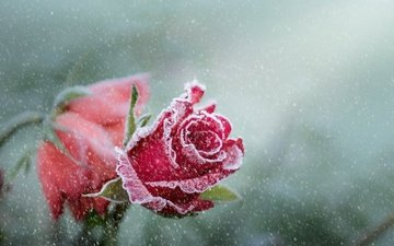 snow, roses, frost, petals, bud, snowfall