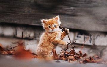 ginger kitten, gctgv