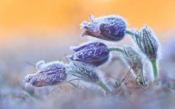 flowers, nature, frost, spring, sleep-grass, cross
