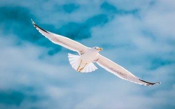 небо, облака, полет, крылья, чайка, птица, клюв, перья