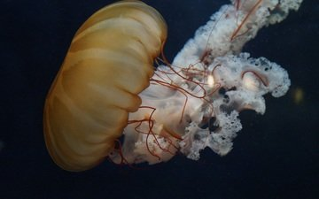 море, медуза, щупальца, подводный мир