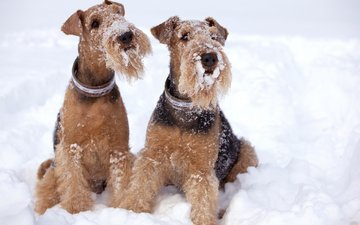snow, winter, dogs, terrier, airedale
