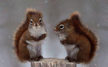 снег, природа, животные, белки, белочки, andre villeneuve