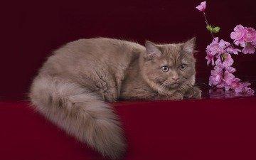 цветы, кот, кошка, хвост, британец, британская длинношерстная