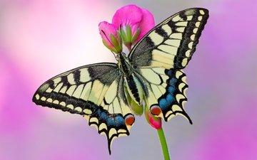 бабочка, махаон
