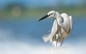 птица, клюв, перья, цапля, белая цапля
