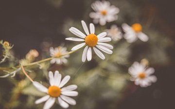 flowers, petals, blur, chamomile, white, white flowers
