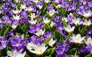 white, purple, crocuses