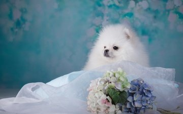 flowers, muzzle, look, white, dog, puppy, fabric, hydrangea, spitz