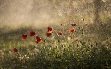 красные, маки, дождь, боке, цветы, летнее