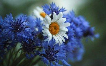 цветы, природа, лето, ромашки, букет, васильки