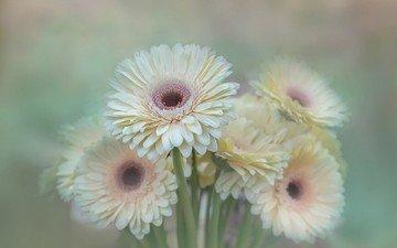 цветы, лепестки, размытость, букет, герберы