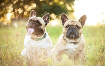 dogs, the bulldogs, french bulldog, french bulldogs