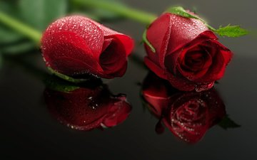 buds, reflection, drops, rose, petals, flowers