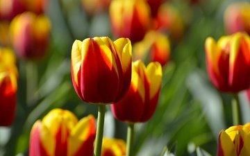 цветы, бутоны, тюльпаны