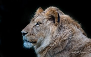 profile, black background, king, leo, beast, david whelan