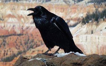 black, crow