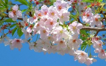 flowering, branch, spring, sakura