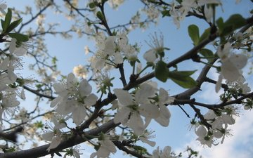 flowering, branch, spring, cherry