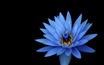 flower, petals, blue, black background, lily, water lily