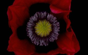 flower, petals, red, mac, black background