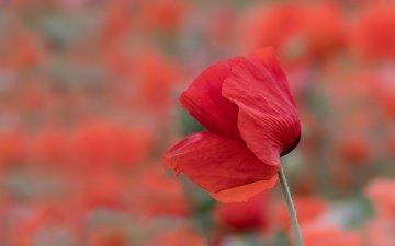 цветок, лето, лепестки, красный, размытость, мак, стебель