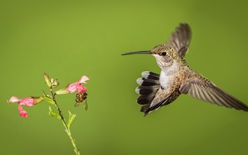 insect, background, flower, bird, beak, hummingbird, montenegro archilochus