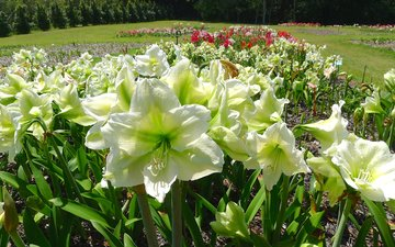 flowers, white, amaryllis