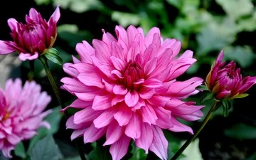 flowers, buds, garden, dahlias