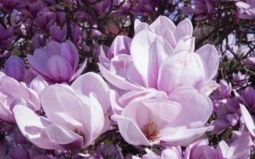 цветы, цветение, бутоны, ветки, лепестки, весна, магнолия