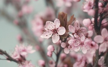 flowers, flowering, branches, spring, cherry