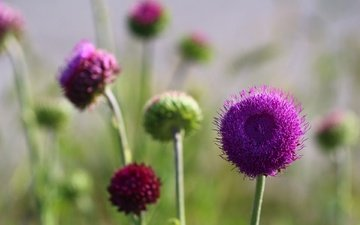 flowers, background, summer, stems, thistle
