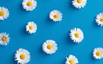 flowers, background, petals, chamomile