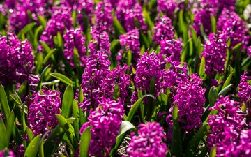 цветы, клумба, гиацинты